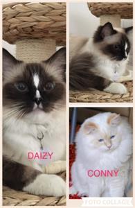 Daizy o Conny