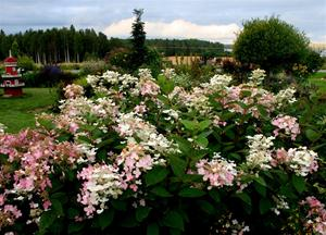 11 .Hortensia 25 aug