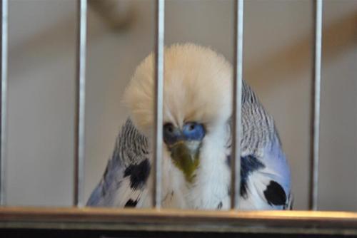 Blå hane